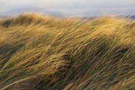 grass blown by wind